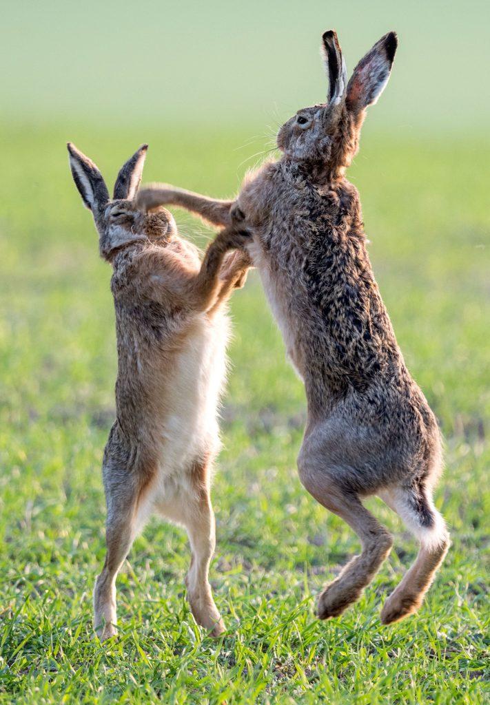 Revierkämpfe von Hasen