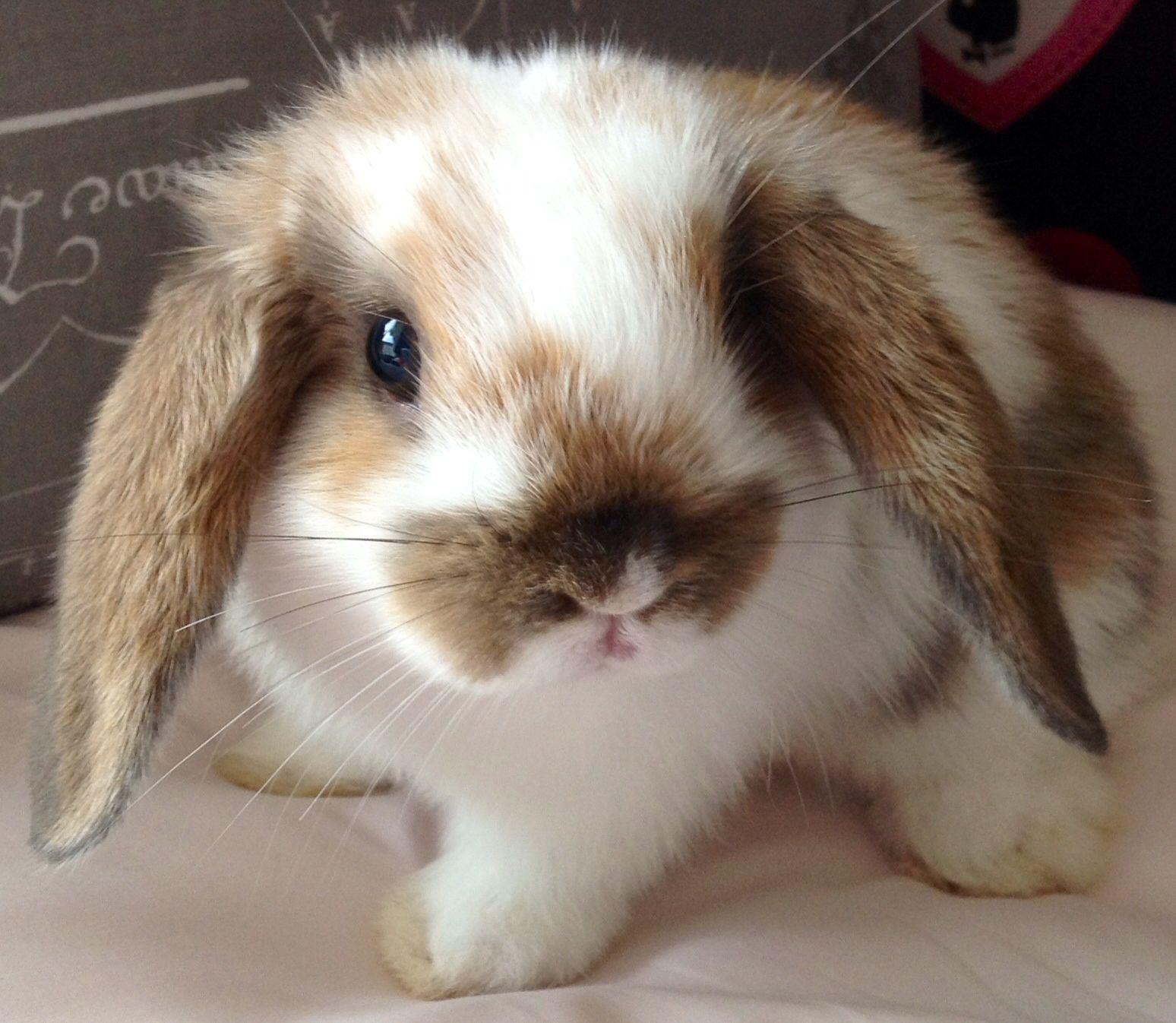 8 Wochen altes Kaninchen