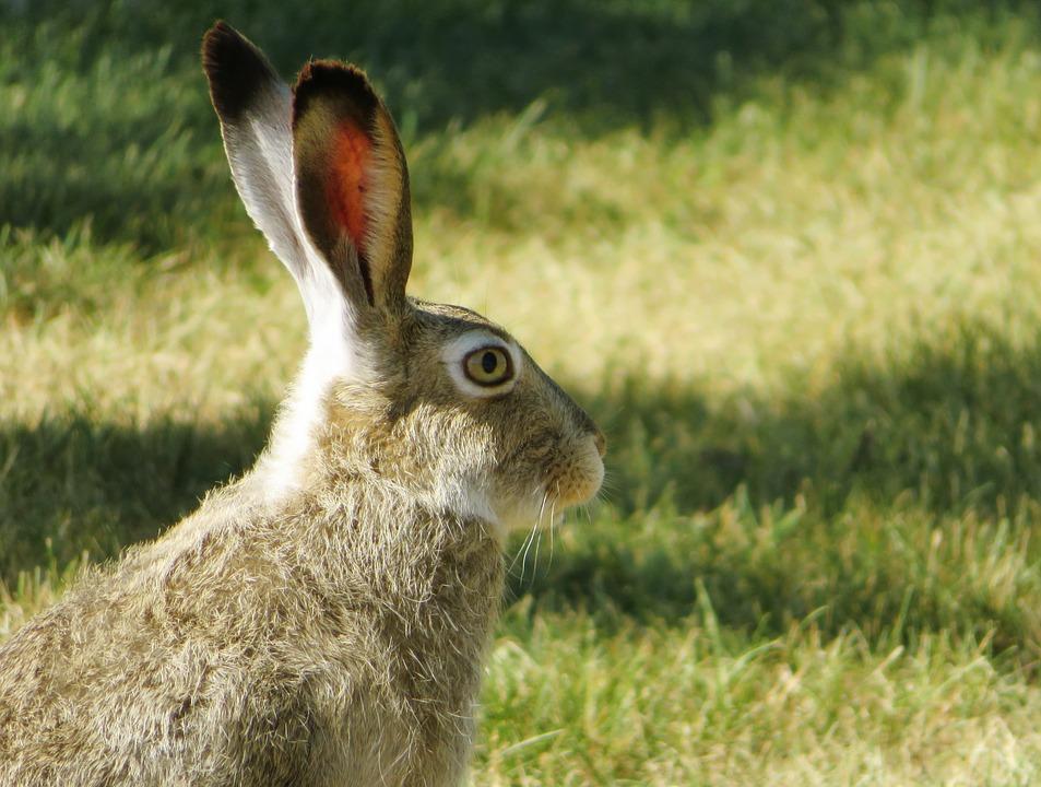kaninchen körpersprache ohren