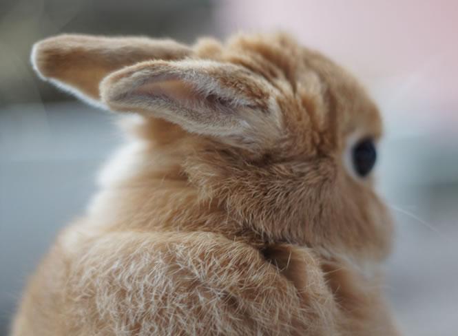 kaninchen ohrenpflege
