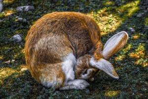 kaninchen männchen oder weibchen